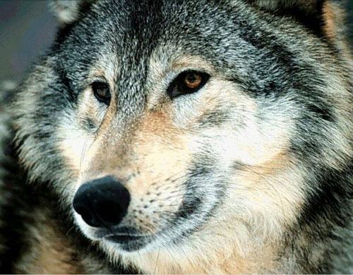 Les loups des Landes ~ La Faim Fait Sortir Le Loup Du Bois